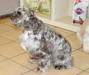 Spotted spaniel
