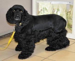 Black Spaniel