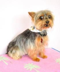 40 cute yorkie with personality