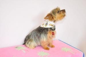 Yorkie - howling good time