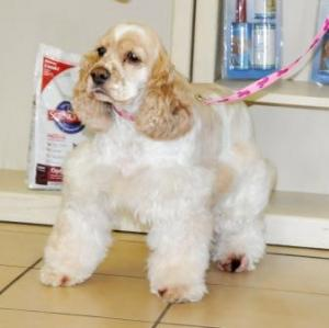 36 tan and white front view spaniel