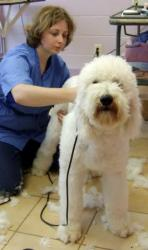 1676 Brit grooming shaggy dog