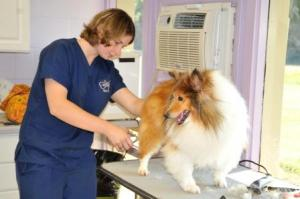 Brit grooming collie