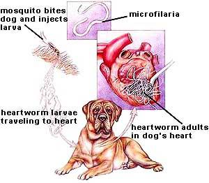 articles canine heartworm disease