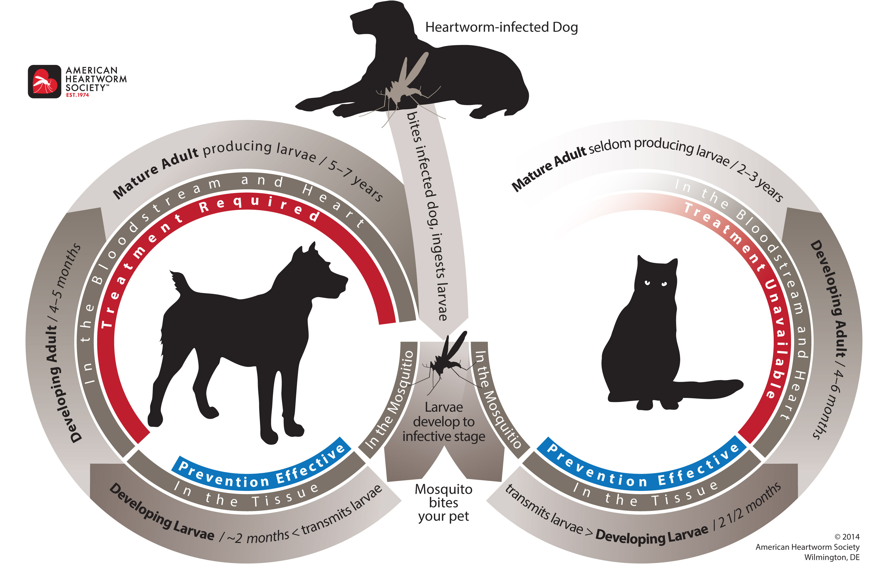 Heartworm Disease Cycle