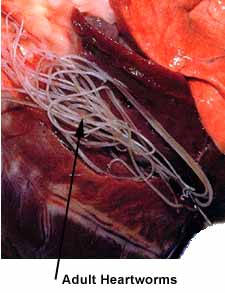 Heartworm Infected Dog's Heart