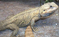 Pets such as dragons and iguanas could be banned under HR 669