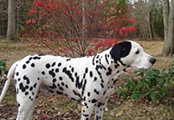 Dalmatians are prone to hypothyroidism.