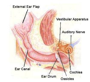 [تصویر:  feline_ear_diagram.jpg]