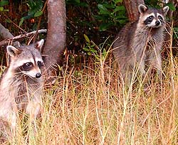 Raccoons are highly susceptible to rabies.